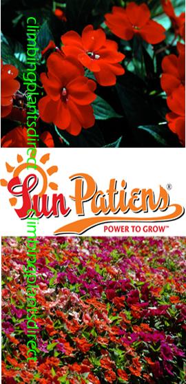 SunPatiens%AE+Vigorous+Red+X+5+Jumbo+Plug+Plants